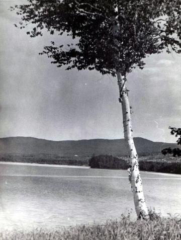 A Birch on the Pond