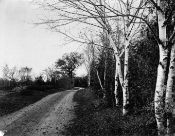 Dirt road with birch trees at Shelburne Farms