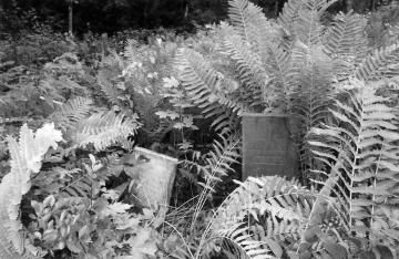 Cemetery and ferns