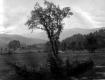 Elm tree near open field