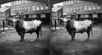 Bull in Village Square
