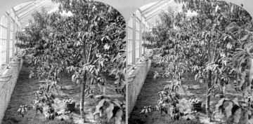 Fruit Tree in a Greenhouse