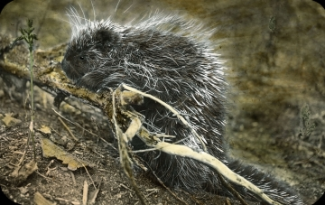 Porcupine Chewing a Branch