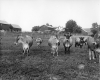 Jersey Cows and Farmstead