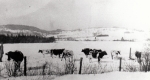Julius Selina and Cows
