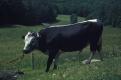 Myron -- Lineback bull at Warden Farm