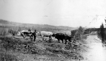 Dan Fulford's Oxen