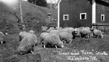 """Riverside Farm"" or Island Line sheep stock"