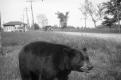 A Bear in Rural Vermont