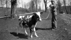 Young Boy and Baby Cow