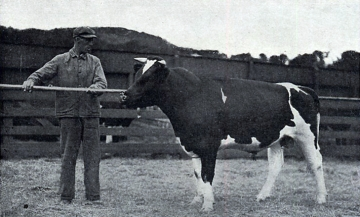 A registered Holstein-Frisian Bull