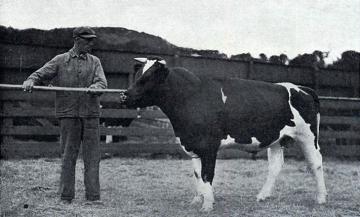A registered Holstein-Frisian Bull