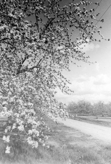 Addison County Apple Blossoms