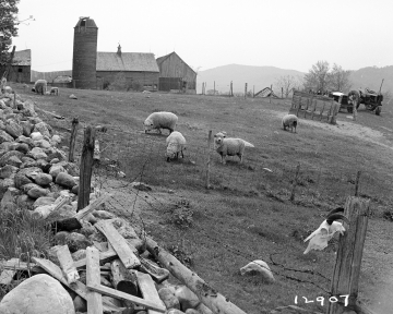 Adams Farm, Grazing Sheep