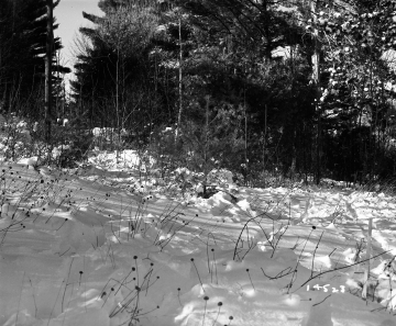 Alice Sutkoski Property, Forest in Snow